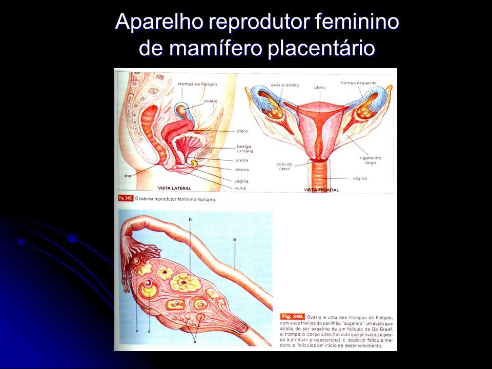 Aparelho reprodutor feminino de mamífero placentário