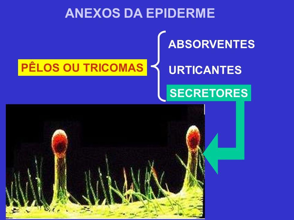 PÊLOS OU TRICOMAS ANEXOS DA EPIDERME ABSORVENTES URTICANTES SECRETORES