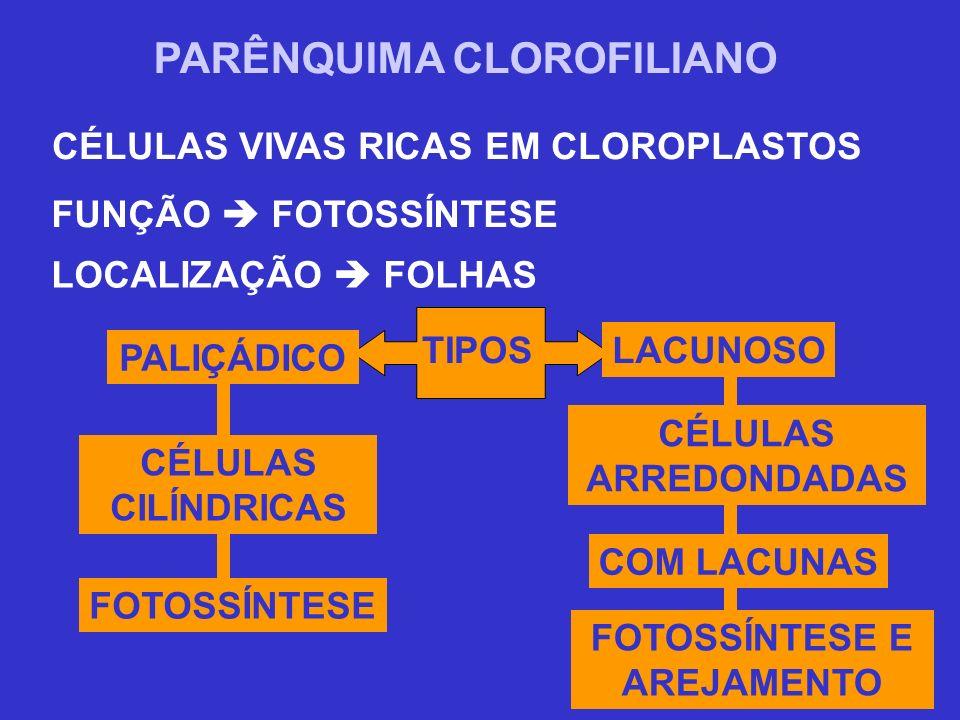 PARÊNQUIMA CLOROFILIANO CÉLULAS VIVAS RICAS EM CLOROPLASTOS FUNÇÃO FOTOSSÍNTESE LOCALIZAÇÃO FOLHAS TIPOS FOTOSSÍNTESE E AREJAMENTO PALIÇÁDICO LACUNOSO