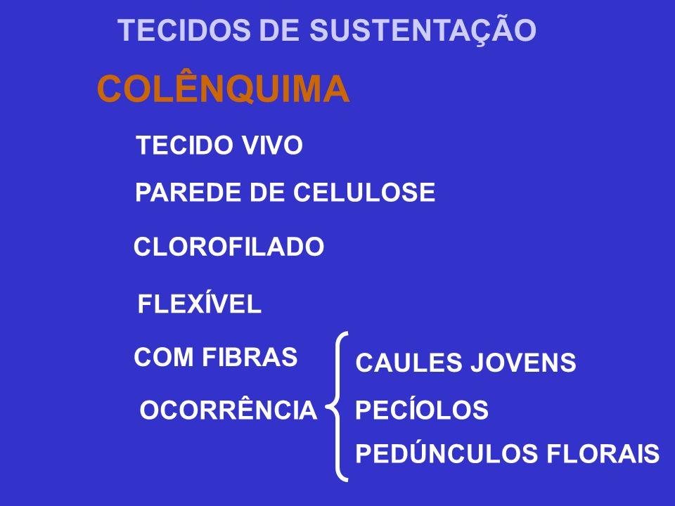 TECIDOS DE SUSTENTAÇÃO COLÊNQUIMA TECIDO VIVO PAREDE DE CELULOSE CLOROFILADO FLEXÍVEL COM FIBRAS CAULES JOVENS OCORRÊNCIA PECÍOLOS PEDÚNCULOS FLORAIS