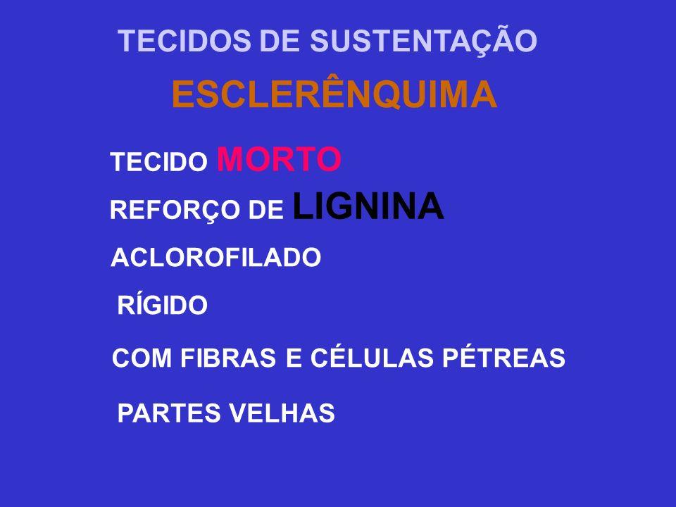 ESCLERÊNQUIMA TECIDOS DE SUSTENTAÇÃO TECIDO MORTO REFORÇO DE LIGNINA ACLOROFILADO RÍGIDO COM FIBRAS E CÉLULAS PÉTREAS PARTES VELHAS