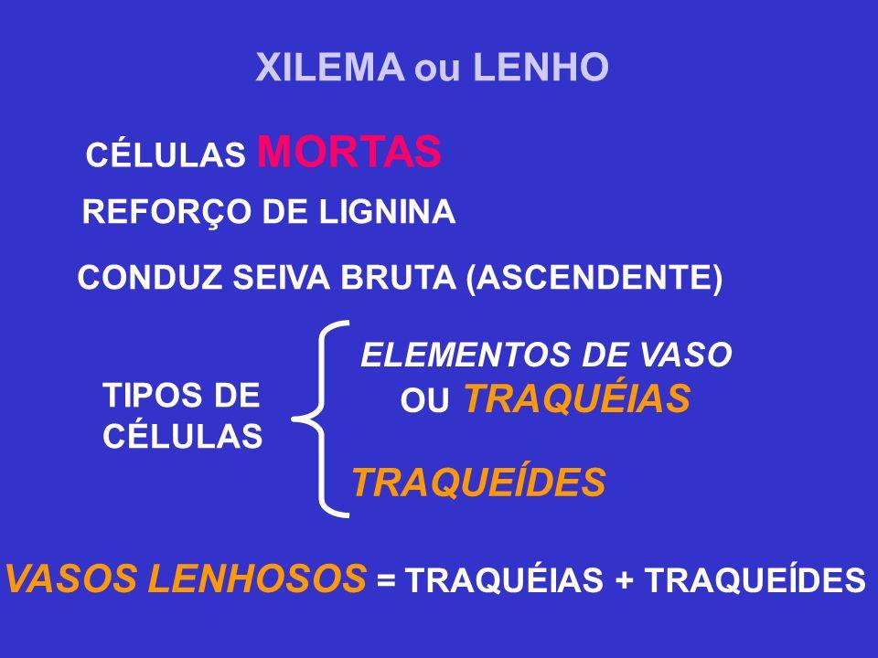 XILEMA ou LENHO CÉLULAS MORTAS CONDUZ SEIVA BRUTA (ASCENDENTE) TIPOS DE CÉLULAS TRAQUEÍDES ELEMENTOS DE VASO OU TRAQUÉIAS VASOS LENHOSOS = TRAQUÉIAS +