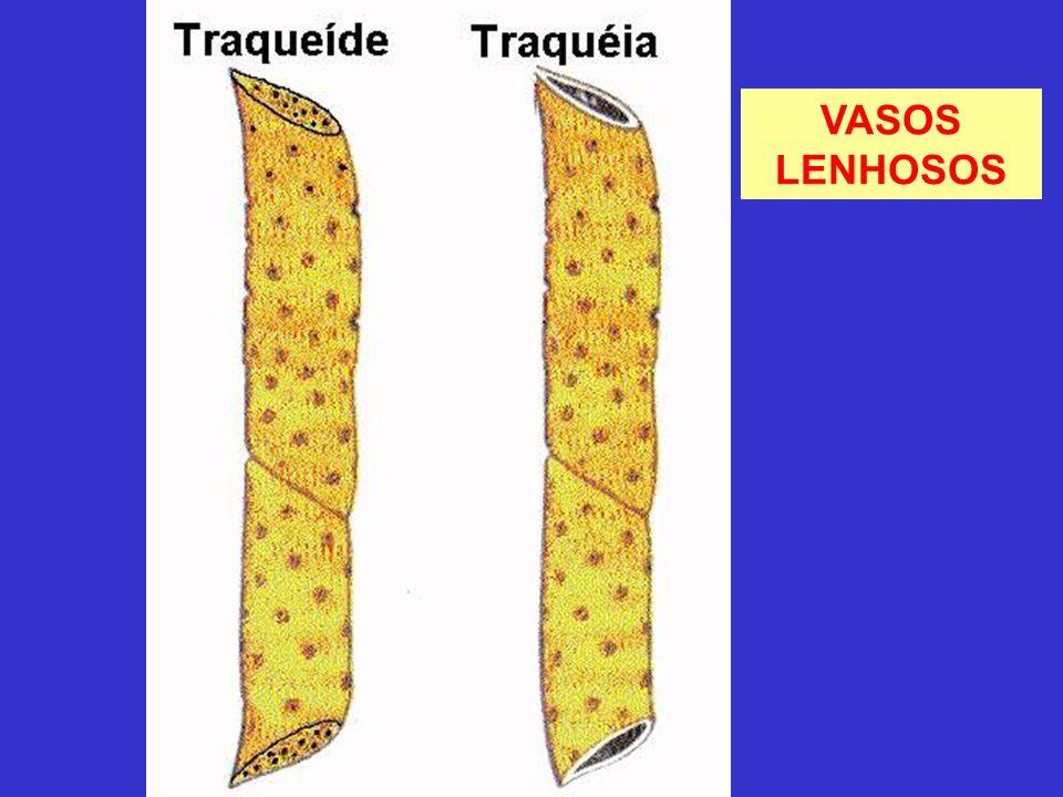 VASOS LENHOSOS