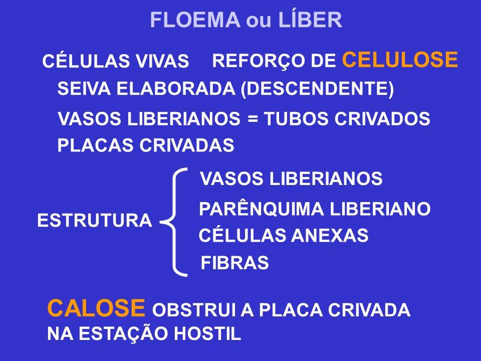 FLOEMA ou LÍBER REFORÇO DE CELULOSE CÉLULAS VIVAS SEIVA ELABORADA (DESCENDENTE) VASOS LIBERIANOS = TUBOS CRIVADOS PLACAS CRIVADAS FIBRAS CALOSE OBSTRU
