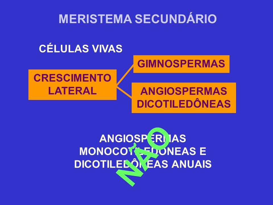MERISTEMA SECUNDÁRIO CÉLULAS VIVAS ANGIOSPERMAS DICOTILEDÔNEAS CRESCIMENTO LATERAL GIMNOSPERMAS ANGIOSPERMAS MONOCOTILEDÔNEAS E DICOTILEDÔNEAS ANUAIS