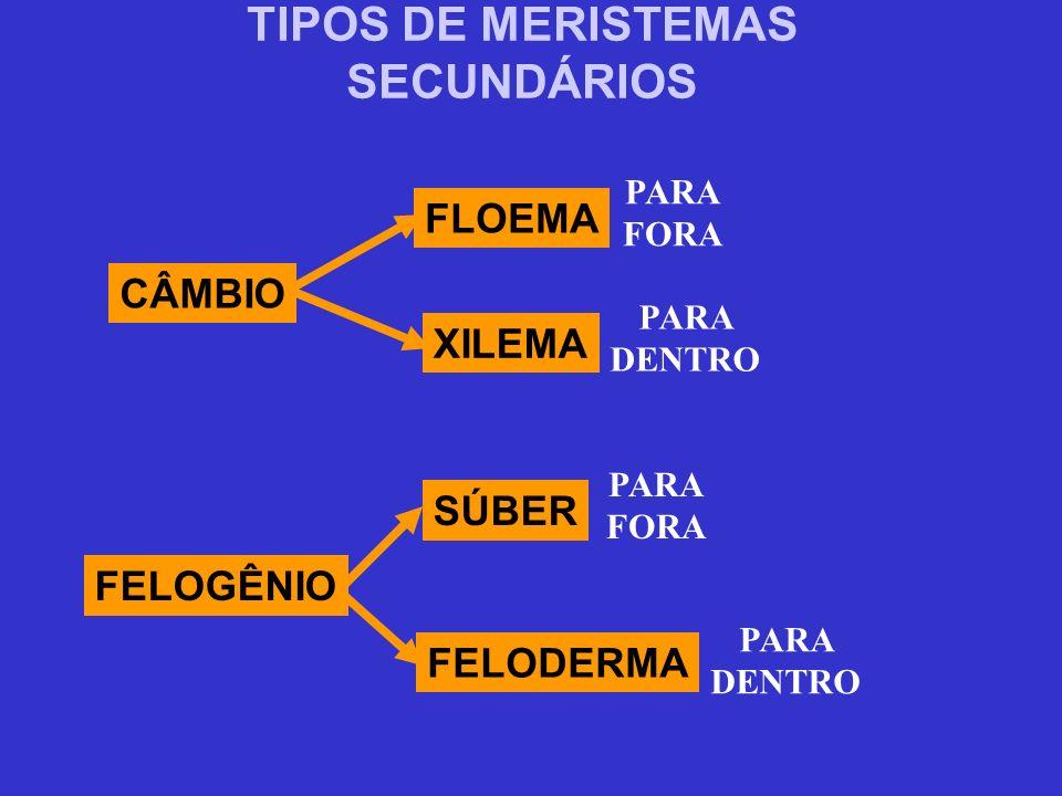 TIPOS DE MERISTEMAS SECUNDÁRIOS CÂMBIO FLOEMA XILEMA FELOGÊNIO SÚBER FELODERMA PARA FORA PARA DENTRO PARA FORA PARA DENTRO