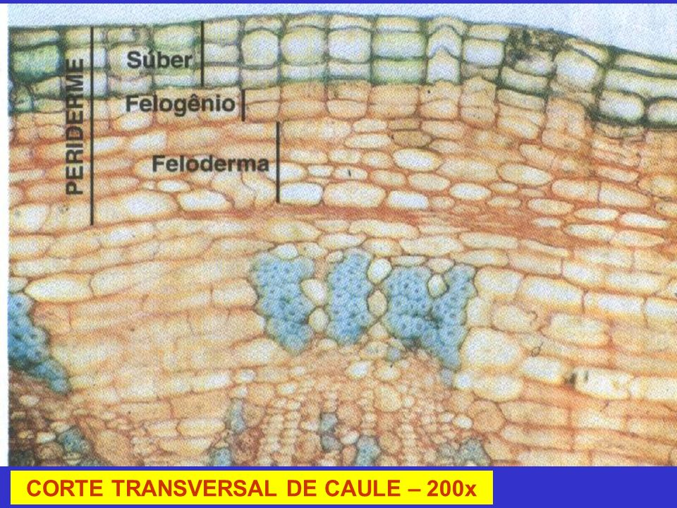 CORTE TRANSVERSAL DE CAULE – 200x