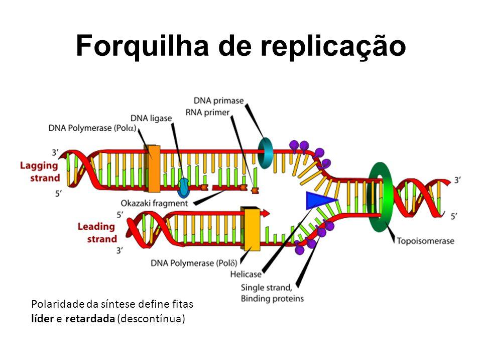 Forquilha de replicação Polaridade da síntese define fitas líder e retardada (descontínua)
