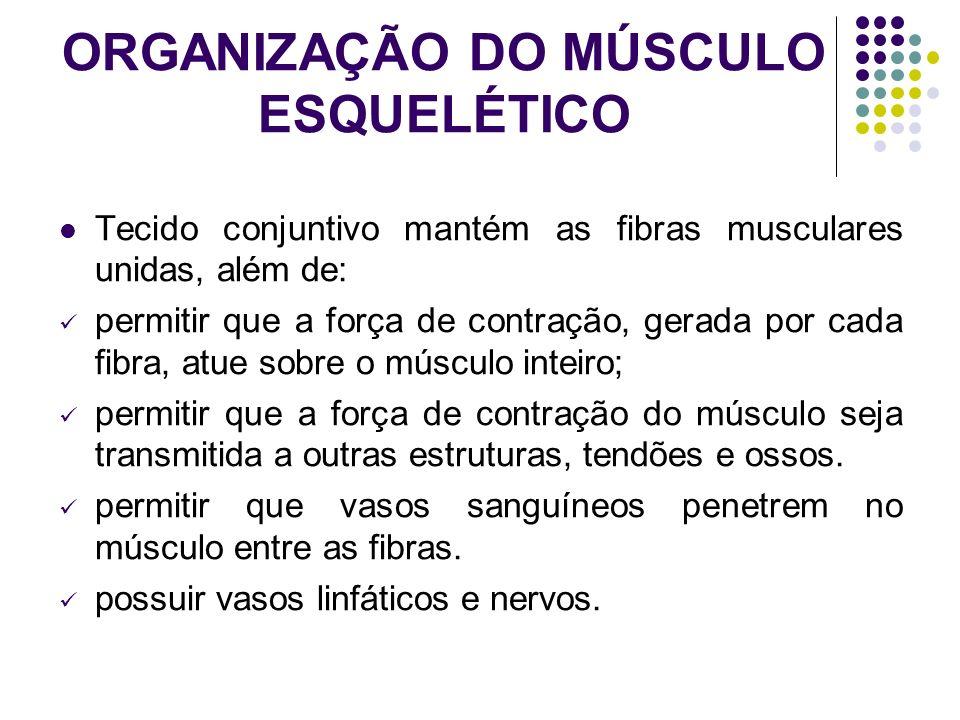 ORGANIZAÇÃO DO MÚSCULO ESQUELÉTICO Tecido conjuntivo mantém as fibras musculares unidas, além de: permitir que a força de contração, gerada por cada f