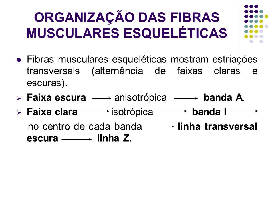 ORGANIZAÇÃO DAS FIBRAS MUSCULARES ESQUELÉTICAS Fibras musculares esqueléticas mostram estriações transversais (alternância de faixas claras e escuras)