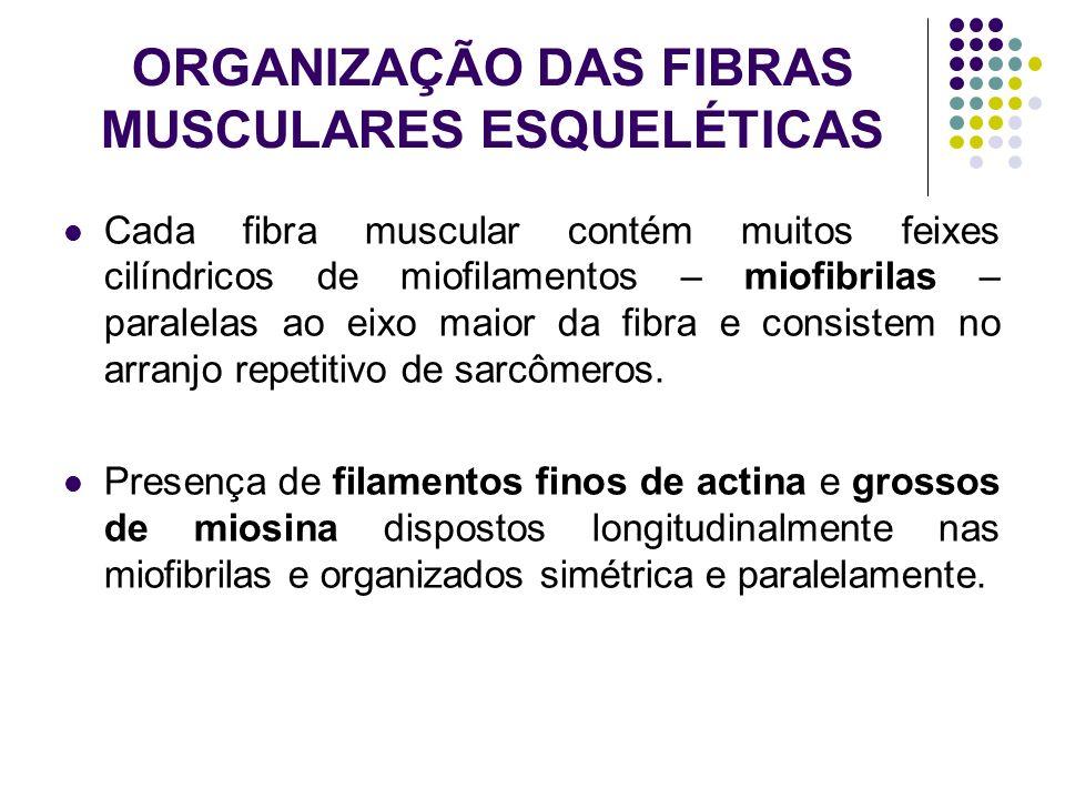 ORGANIZAÇÃO DAS FIBRAS MUSCULARES ESQUELÉTICAS Cada fibra muscular contém muitos feixes cilíndricos de miofilamentos – miofibrilas – paralelas ao eixo