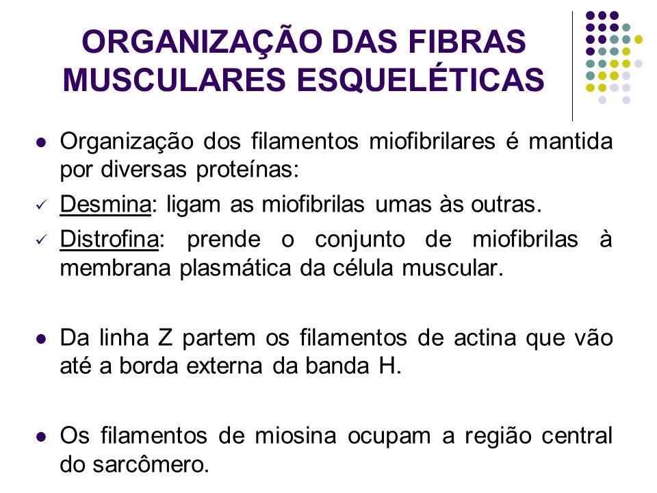 ORGANIZAÇÃO DAS FIBRAS MUSCULARES ESQUELÉTICAS Organização dos filamentos miofibrilares é mantida por diversas proteínas: Desmina: ligam as miofibrila