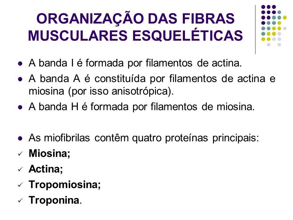 ORGANIZAÇÃO DAS FIBRAS MUSCULARES ESQUELÉTICAS A banda I é formada por filamentos de actina. A banda A é constituída por filamentos de actina e miosin