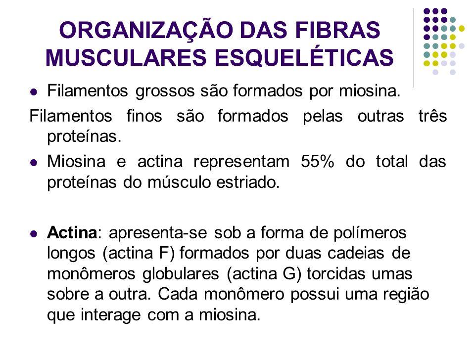 ORGANIZAÇÃO DAS FIBRAS MUSCULARES ESQUELÉTICAS Filamentos grossos são formados por miosina. Filamentos finos são formados pelas outras três proteínas.