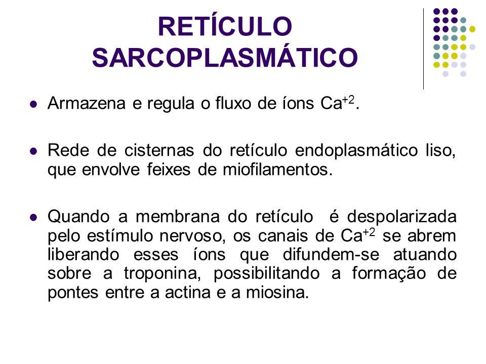 RETÍCULO SARCOPLASMÁTICO Armazena e regula o fluxo de íons Ca +2. Rede de cisternas do retículo endoplasmático liso, que envolve feixes de miofilament