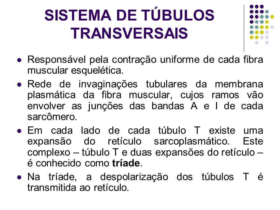 SISTEMA DE TÚBULOS TRANSVERSAIS Responsável pela contração uniforme de cada fibra muscular esquelética. Rede de invaginações tubulares da membrana pla