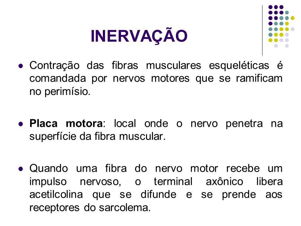 INERVAÇÃO Contração das fibras musculares esqueléticas é comandada por nervos motores que se ramificam no perimísio. Placa motora: local onde o nervo