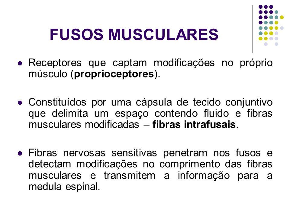 FUSOS MUSCULARES Receptores que captam modificações no próprio músculo (proprioceptores). Constituídos por uma cápsula de tecido conjuntivo que delimi