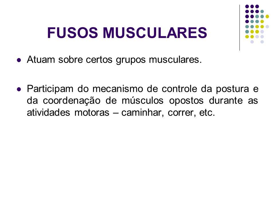 FUSOS MUSCULARES Atuam sobre certos grupos musculares. Participam do mecanismo de controle da postura e da coordenação de músculos opostos durante as