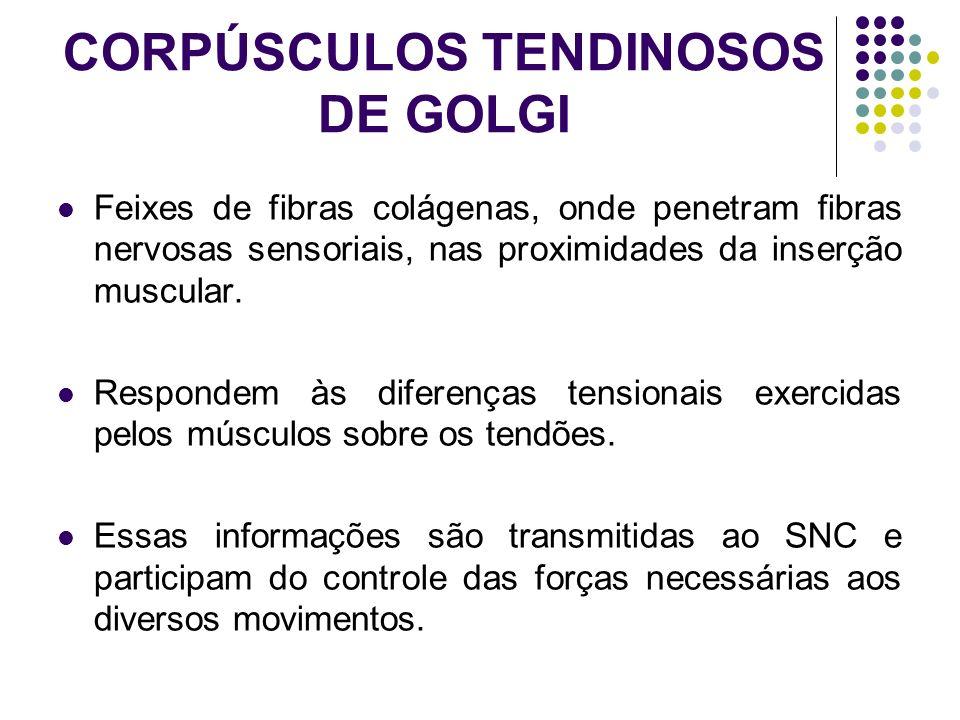 CORPÚSCULOS TENDINOSOS DE GOLGI Feixes de fibras colágenas, onde penetram fibras nervosas sensoriais, nas proximidades da inserção muscular. Respondem