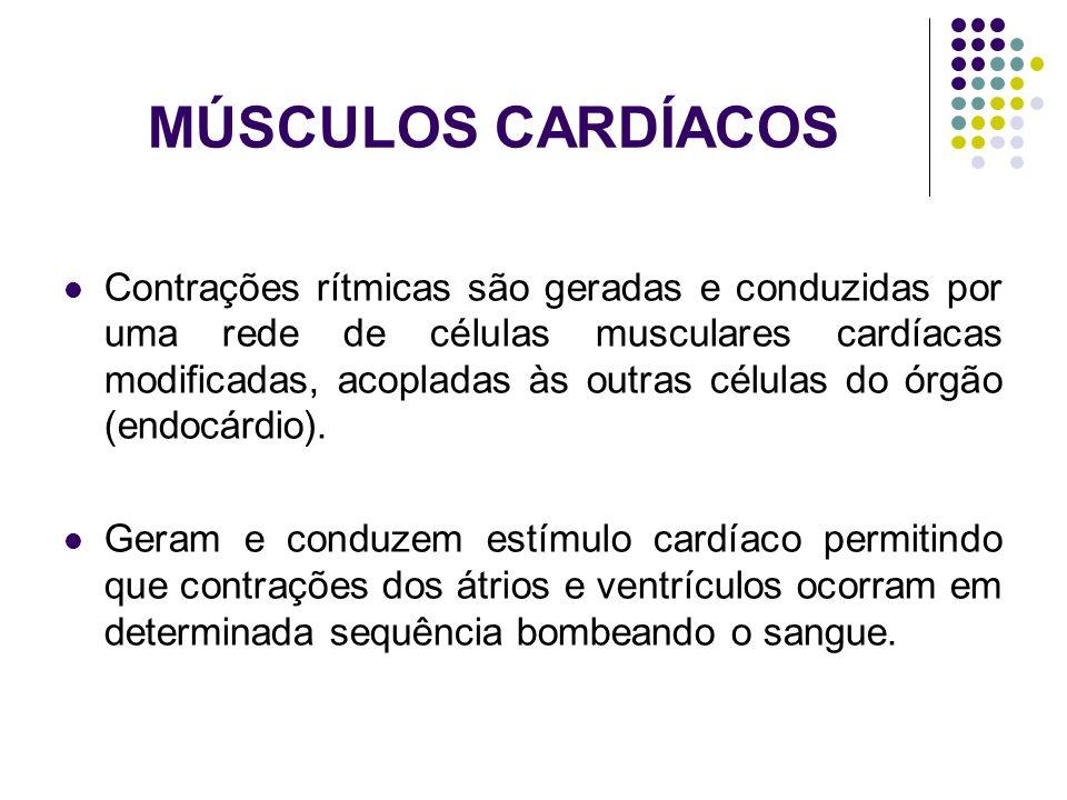 MÚSCULOS CARDÍACOS Contrações rítmicas são geradas e conduzidas por uma rede de células musculares cardíacas modificadas, acopladas às outras células
