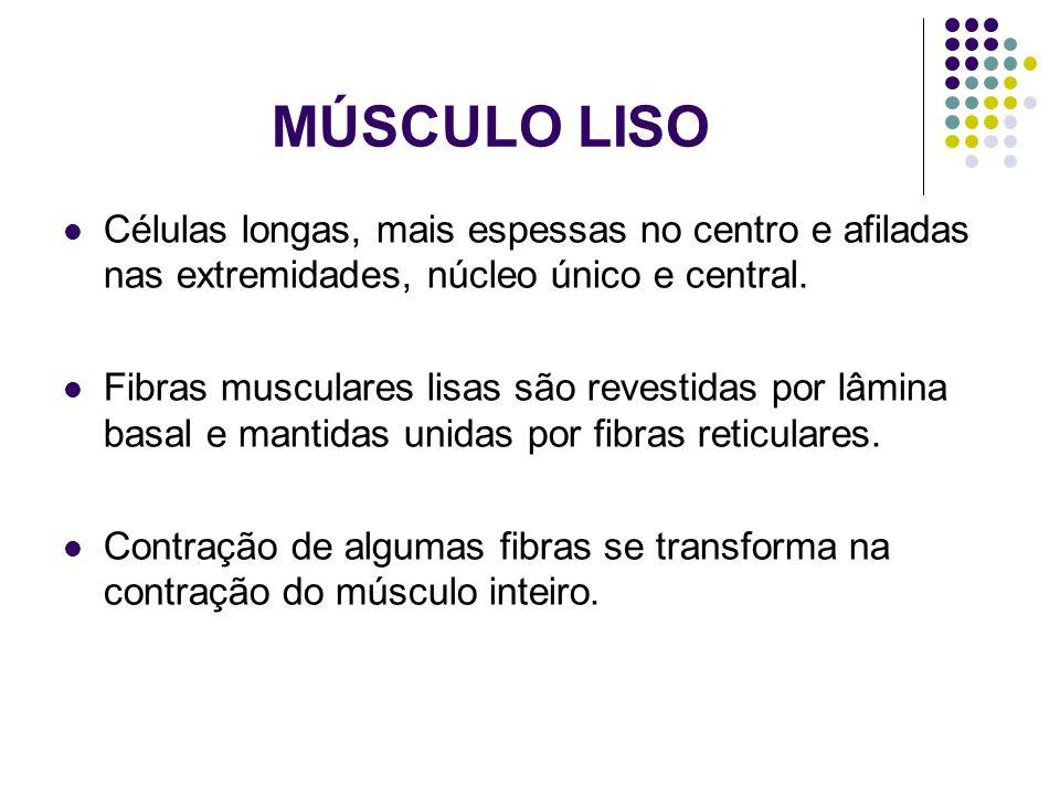 MÚSCULO LISO Células longas, mais espessas no centro e afiladas nas extremidades, núcleo único e central. Fibras musculares lisas são revestidas por l
