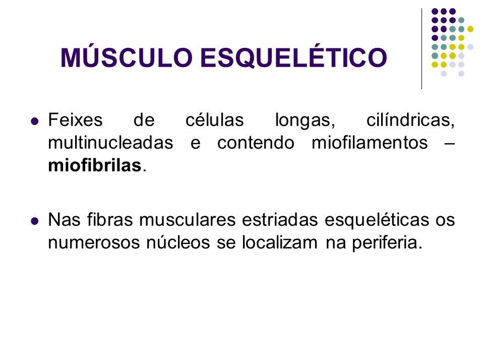 MÚSCULO ESQUELÉTICO Feixes de células longas, cilíndricas, multinucleadas e contendo miofilamentos – miofibrilas. Nas fibras musculares estriadas esqu