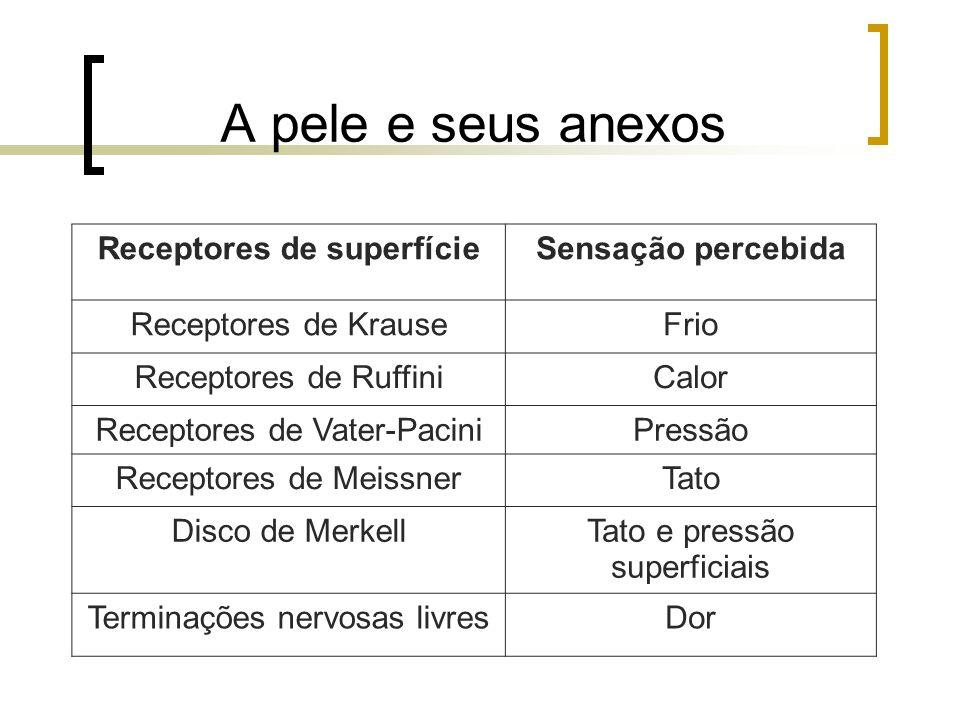 A pele e seus anexos Receptores de superfícieSensação percebida Receptores de KrauseFrio Receptores de RuffiniCalor Receptores de Vater-PaciniPressão