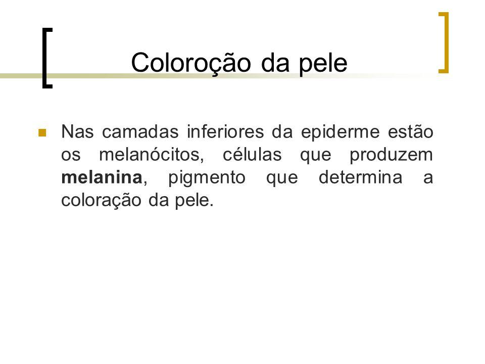 Coloroção da pele Nas camadas inferiores da epiderme estão os melanócitos, células que produzem melanina, pigmento que determina a coloração da pele.
