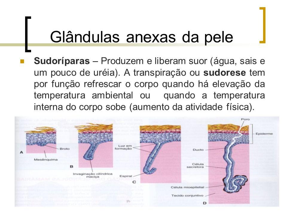 Glândulas anexas da pele Sudoríparas – Produzem e liberam suor (água, sais e um pouco de uréia). A transpiração ou sudorese tem por função refrescar o