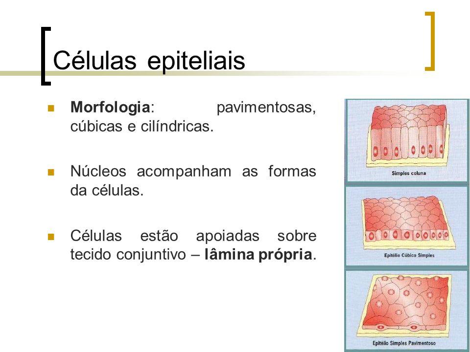 Tipos de epitélios glandulares Glândulas compostas: têm ductos ramificados.