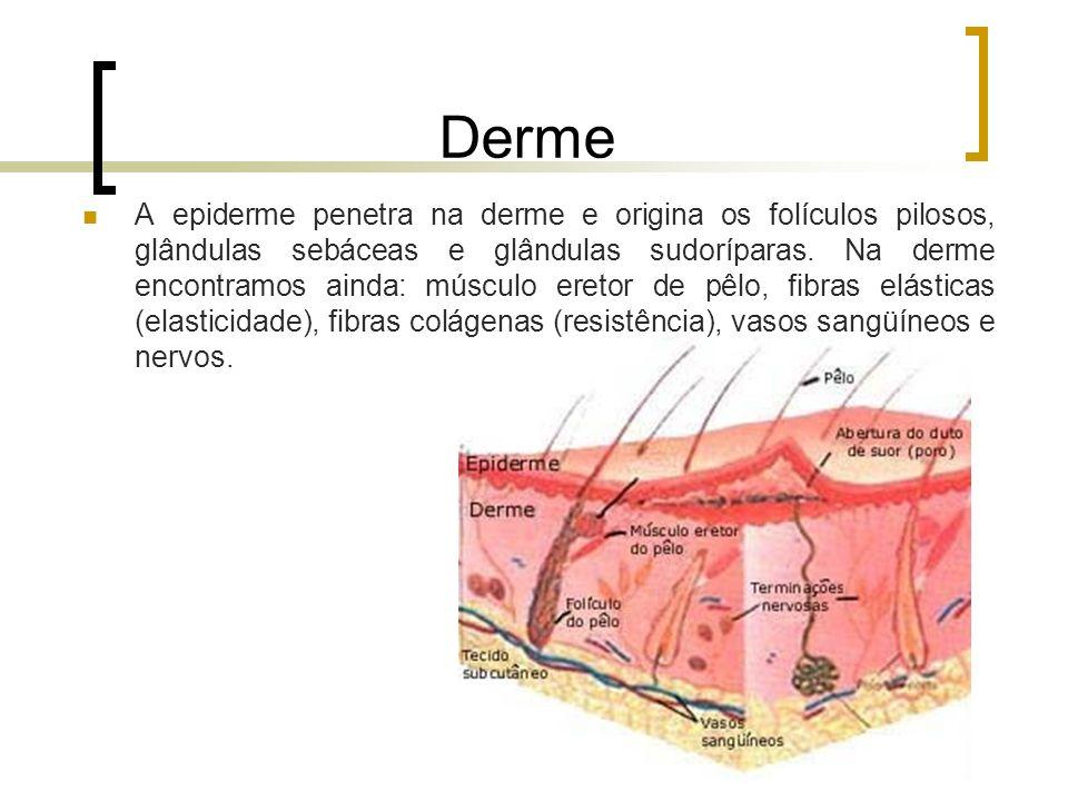 Derme A epiderme penetra na derme e origina os folículos pilosos, glândulas sebáceas e glândulas sudoríparas. Na derme encontramos ainda: músculo eret