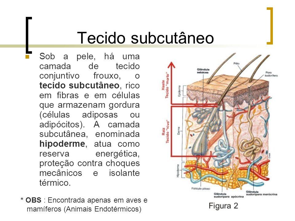 Tecido subcutâneo Sob a pele, há uma camada de tecido conjuntivo frouxo, o tecido subcutâneo, rico em fibras e em células que armazenam gordura (célul