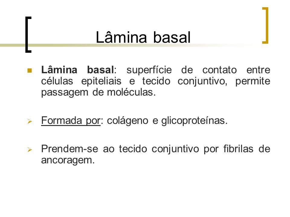 Lâmina basal Lâmina basal: superfície de contato entre células epiteliais e tecido conjuntivo, permite passagem de moléculas. Formada por: colágeno e