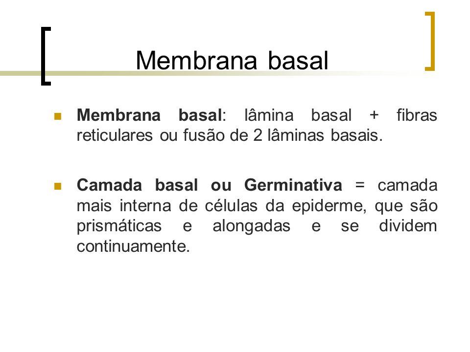 Membrana basal Membrana basal: lâmina basal + fibras reticulares ou fusão de 2 lâminas basais. Camada basal ou Germinativa = camada mais interna de cé