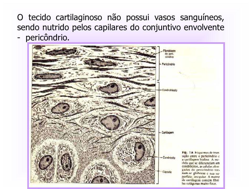 O tecido cartilaginoso não possui vasos sanguíneos, sendo nutrido pelos capilares do conjuntivo envolvente - pericôndrio.