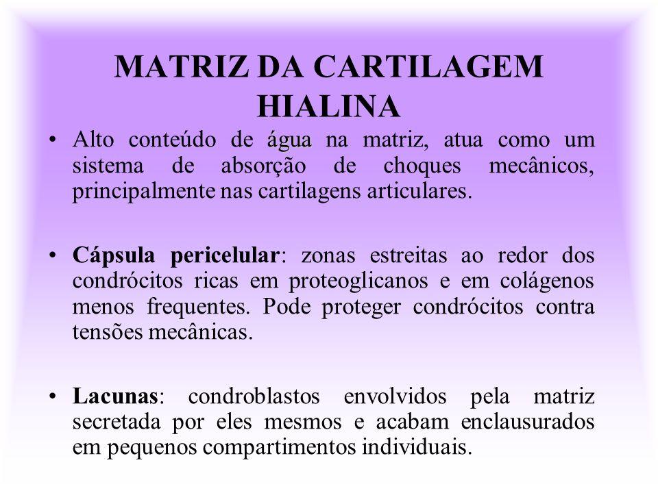 MATRIZ DA CARTILAGEM HIALINA águaAlto conteúdo de água na matriz, atua como um sistema de absorção de choques mecânicos, principalmente nas cartilagen