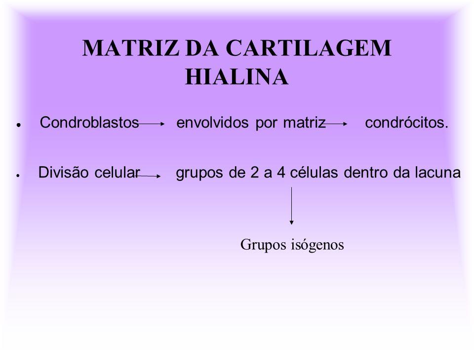 MATRIZ DA CARTILAGEM HIALINA Condroblastos envolvidos por matriz condrócitos. Divisão celular grupos de 2 a 4 células dentro da lacuna Grupos isógenos