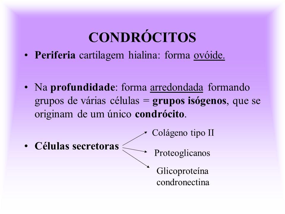 CONDRÓCITOS Periferia cartilagem hialina: forma ovóide. Na profundidade: forma arredondada formando grupos de várias células = grupos isógenos, que se