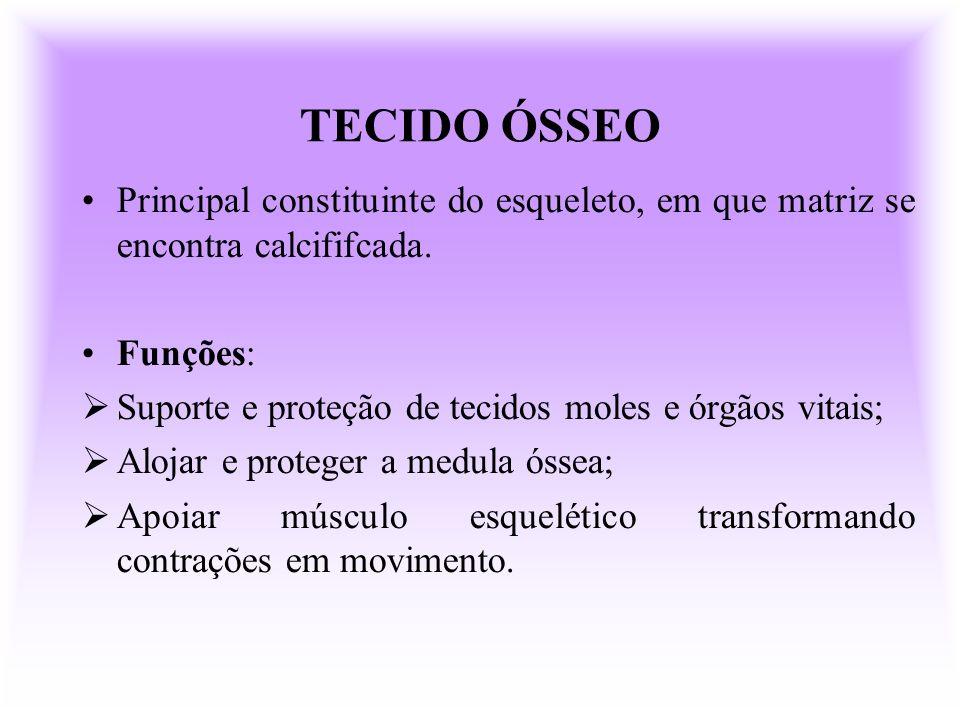 TECIDO ÓSSEO Principal constituinte do esqueleto, em que matriz se encontra calcififcada. Funções: Suporte e proteção de tecidos moles e órgãos vitais