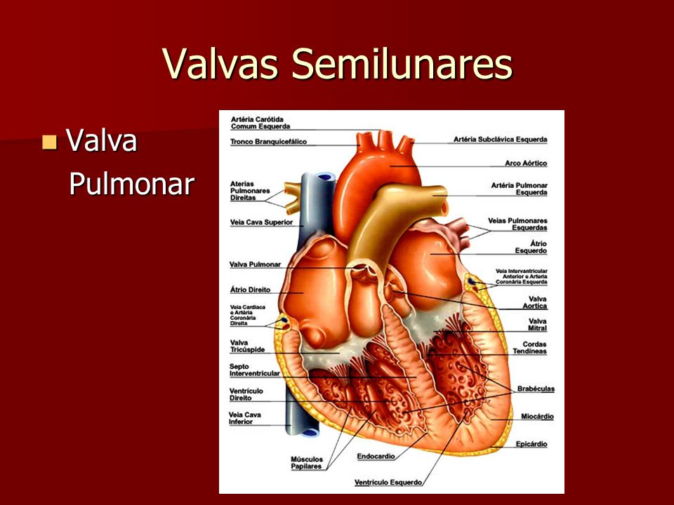 Valvas Semilunares Valva Aórtica Valva Aórtica –Os folhetos são designados conforme os seios de Valsalva correspondentes e de acordo com a origem das artérias coronárias