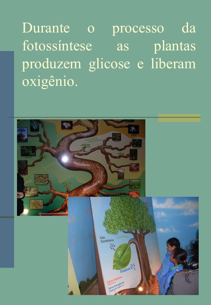 Durante o processo da fotossíntese as plantas produzem glicose e liberam oxigênio.