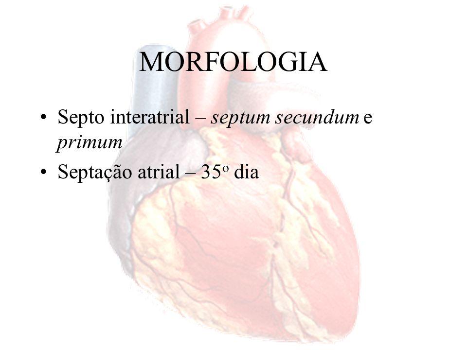 MORFOLOGIA Septo interatrial – septum secundum e primum Septação atrial – 35 o dia