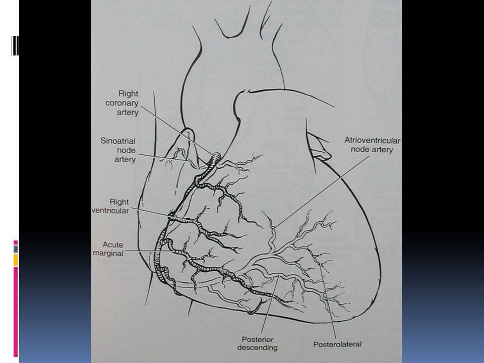Anatomia Coronariana Artéria Coronária Esquerda Origem na Ao posterior Bifurca-se em DA e Cx