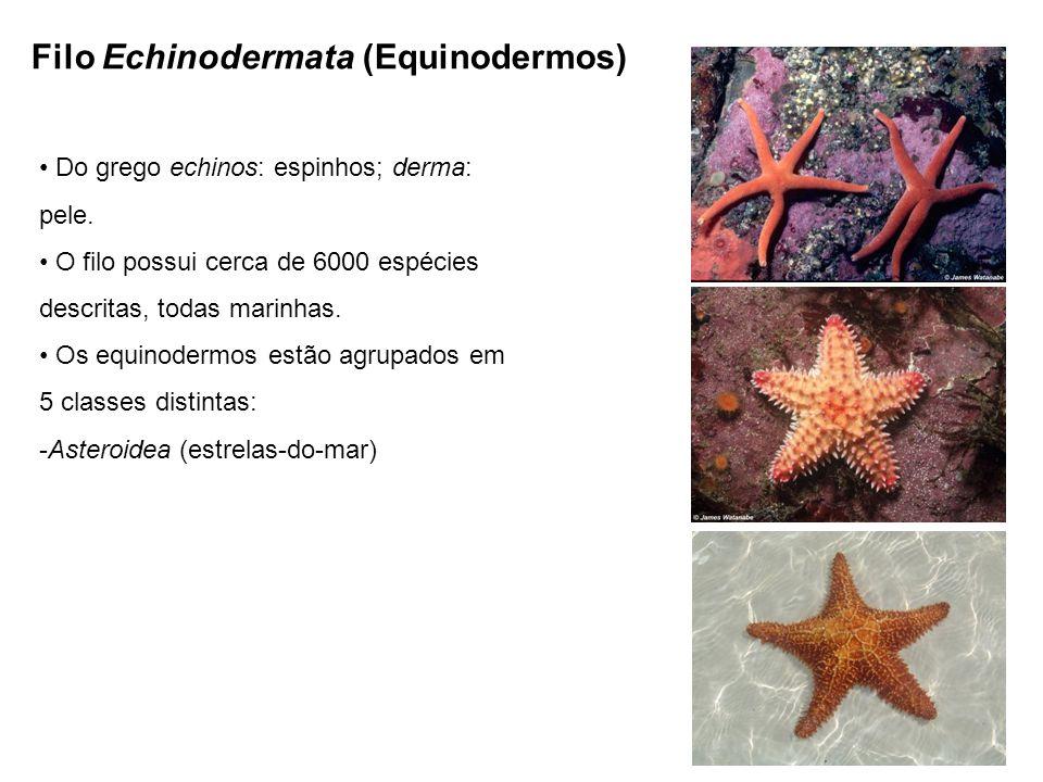Filo Echinodermata (Equinodermos) Do grego echinos: espinhos; derma: pele.