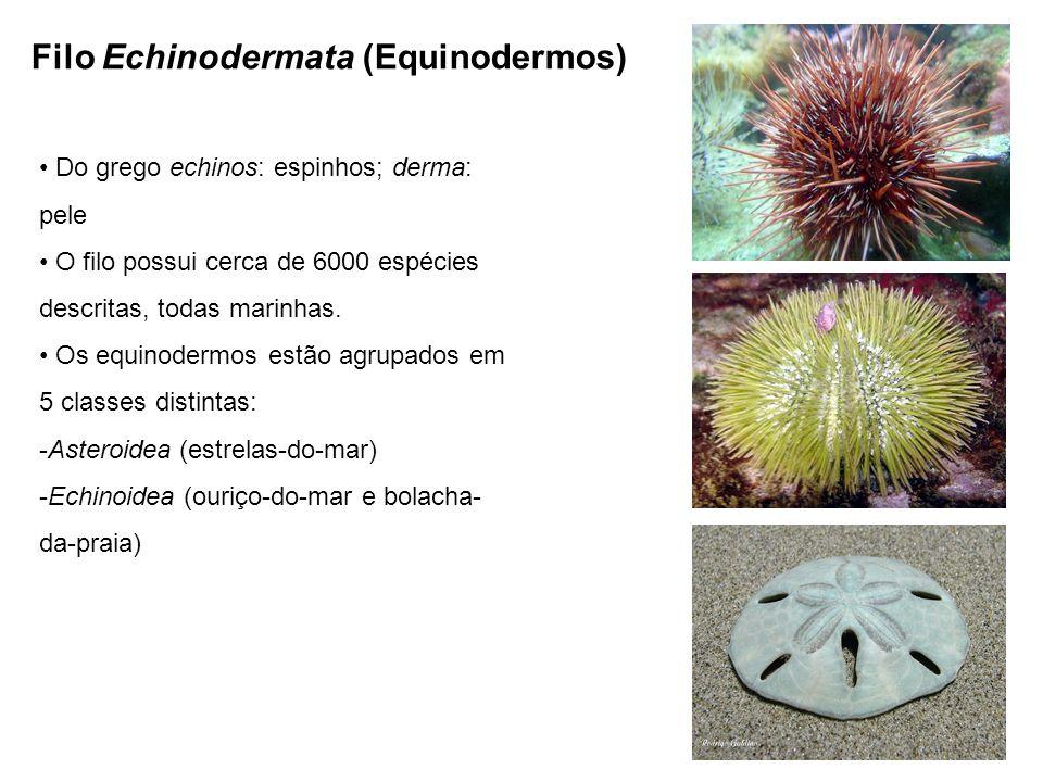 Filo Echinodermata (Equinodermos) Do grego echinos: espinhos; derma: pele O filo possui cerca de 6000 espécies descritas, todas marinhas.