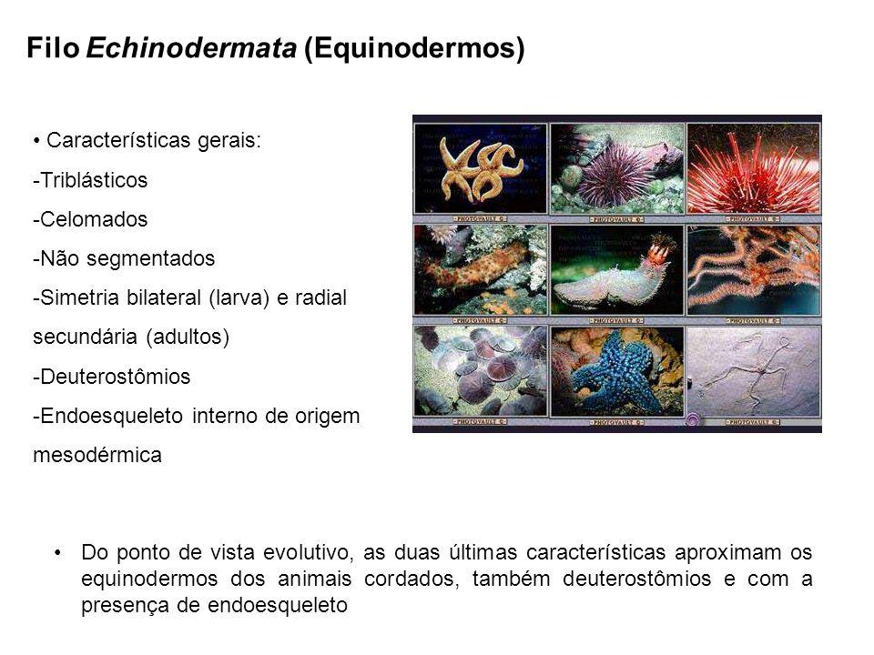 Filo Echinodermata (Equinodermos) Características gerais: -Triblásticos -Celomados -Não segmentados -Simetria bilateral (larva) e radial secundária (adultos) -Deuterostômios -Endoesqueleto interno de origem mesodérmica Do ponto de vista evolutivo, as duas últimas características aproximam os equinodermos dos animais cordados, também deuterostômios e com a presença de endoesqueleto