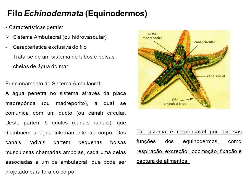 Filo Echinodermata (Equinodermos) Características gerais: Sistema Ambulacral (ou hidrovascular) -Característica exclusiva do filo -Trata-se de um sistema de tubos e bolsas cheias de água do mar.