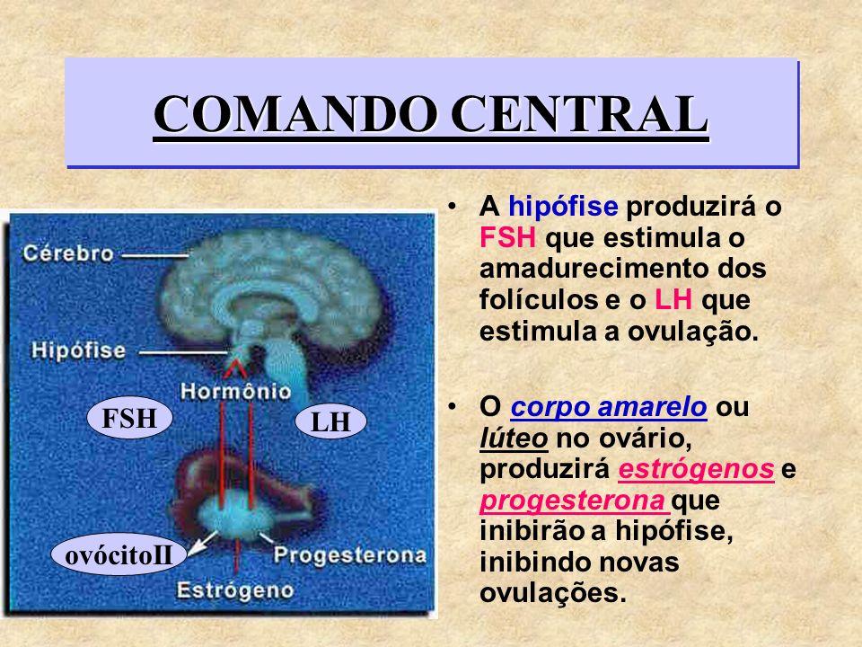 COMANDO CENTRAL A hipófise produzirá o FSH que estimula o amadurecimento dos folículos e o LH que estimula a ovulação. O corpo amarelo ou lúteo no ová