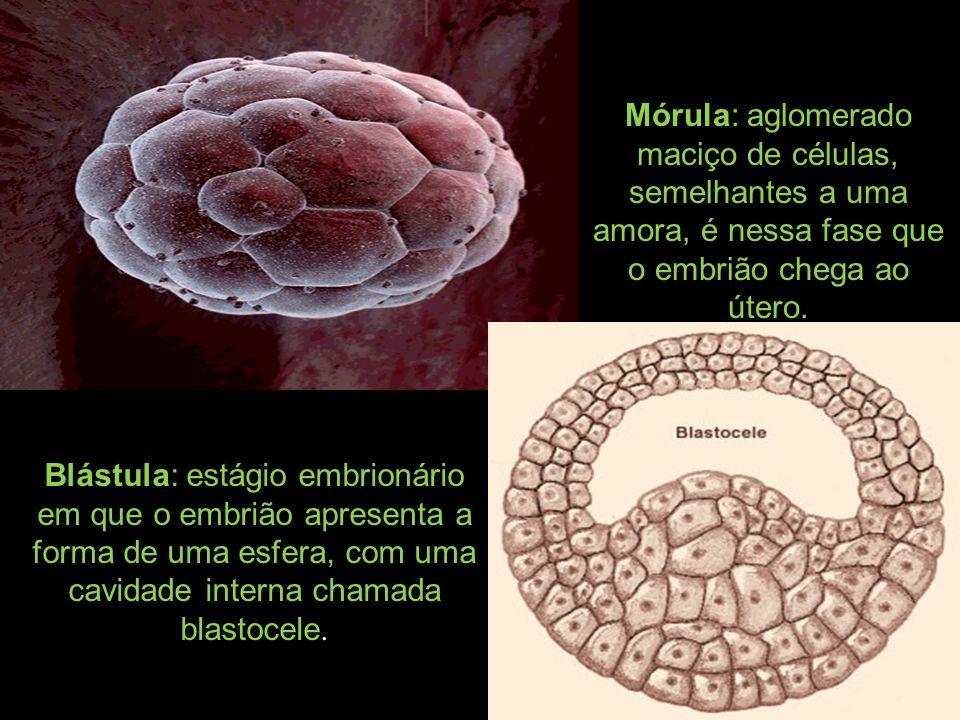 Blástula: estágio embrionário em que o embrião apresenta a forma de uma esfera, com uma cavidade interna chamada blastocele. Mórula: aglomerado maciço